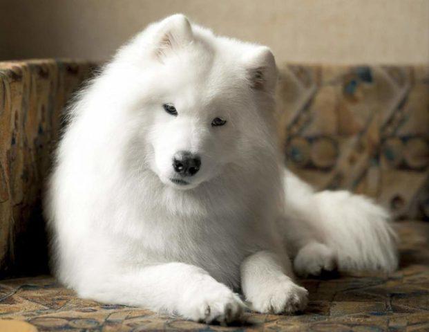 Sierść psa: właściwości lecznicze dla ludzi, z których pomagają skarpetki termiczne, nakolanniki, poduszki