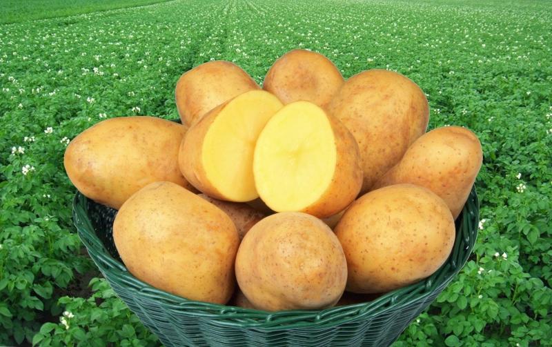 recenzje odmian ziemniaków adretta