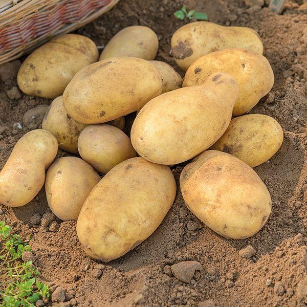 odmiana galaretek ziemniaczanych