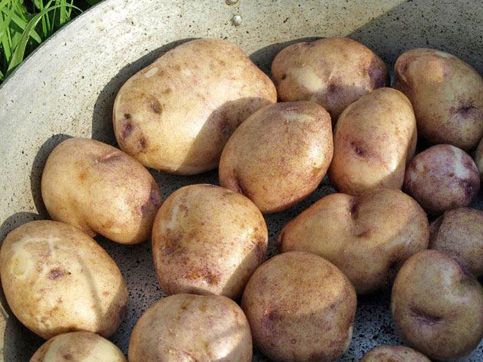 odmiana ziemniaków Sineglazka