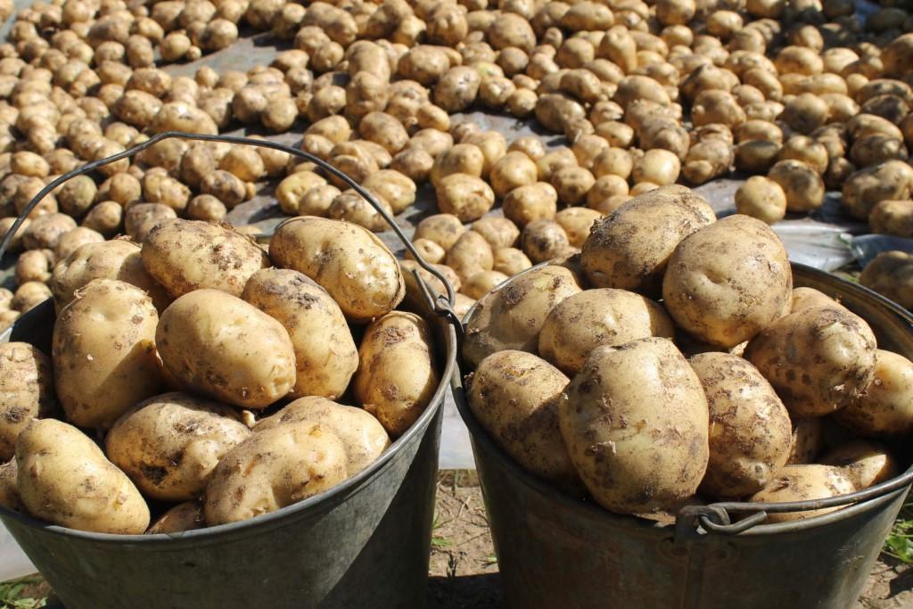 charakterystyczny ziemniak weneta