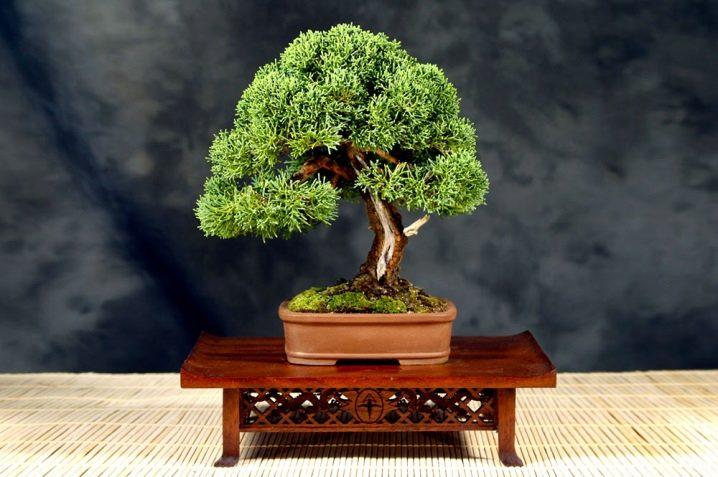 Jak wyhodować bonsai z nasion w domu?