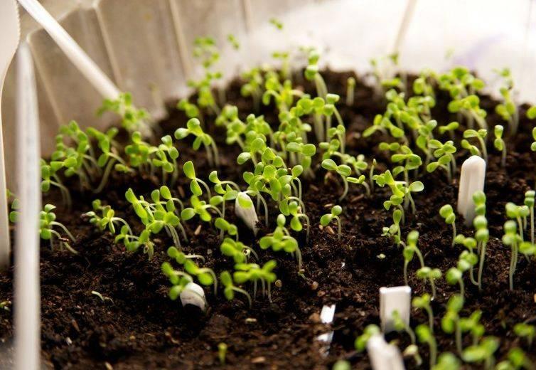 Kiedy zasiać nasiona asteru do sadzonek